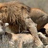 "Male and Female <a target=""NEWWIN"" href=""http://en.wikipedia.org/wiki/Lion"">Lion (<i>Panthera leo</i>)</a> mating (yes, that's a tail), <a target=""NEWWIN"" href=""http://en.wikipedia.org/wiki/Serengeti"">Serengeti</a>, Tanzania"