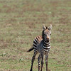 "Young <a target=""NEWWIN"" href=""http://en.wikipedia.org/wiki/Plains_Zebra"">Common Zebra (<i>Equus quagga</i>)</a>, <a target=""NEWWIN"" href=""http://en.wikipedia.org/wiki/Serengeti"">Serengeti</a>, Tanzania"