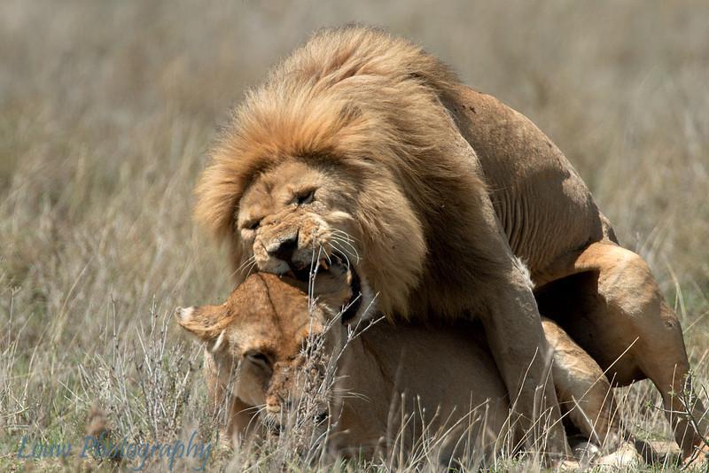 """Male and Female <a target=""""NEWWIN"""" href=""""http://en.wikipedia.org/wiki/Lion"""">Lion (<i>Panthera leo</i>)</a> mating, <a target=""""NEWWIN"""" href=""""http://en.wikipedia.org/wiki/Serengeti"""">Serengeti</a>, Tanzania"""