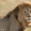 "Male <a target=""NEWWIN"" href=""http://en.wikipedia.org/wiki/Lion"">Lion (<i>Panthera leo</i>)</a>, <a target=""NEWWIN"" href=""http://en.wikipedia.org/wiki/Serengeti"">Serengeti</a>, Tanzania"