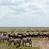 "<a target=""NEWWIN"" href=""http://en.wikipedia.org/wiki/Plains_Zebra"">Common Zebras (<i>Equus quagga</i>)</a> and <a target=""NEWWIN"" href=""http://en.wikipedia.org/wiki/Blue_Wildebeest"">Blue Wildebeests (<i>Connochaetes taurinus</i>)</a>, <a target=""NEWWIN"" href=""http://en.wikipedia.org/wiki/Serengeti"">Serengeti</a>, Tanzania"