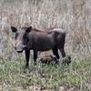 """Female <a target=""""NEWWIN"""" href=""""http://en.wikipedia.org/wiki/Warthog"""">Desert Warthog (<i>Phacochoerus aethiopicus</i>)</a> with young, <a target=""""NEWWIN"""" href=""""http://en.wikipedia.org/wiki/Serengeti"""">Serengeti</a>, Tanzania"""