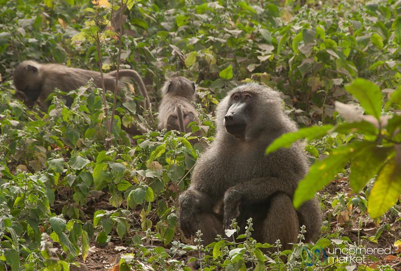 Baboon in the Sun - Lake Manyara, Tanzania
