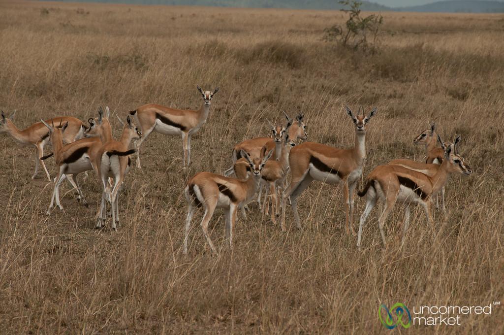 Thomson's Gazelles - Serengeti, Tanzania
