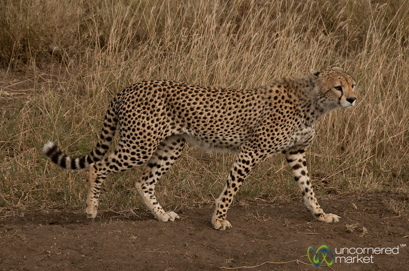 Cheetah Walking By - Serengeti, Tanzania