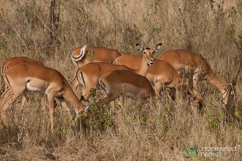 Antelopes in the Serengeti - Tanzania