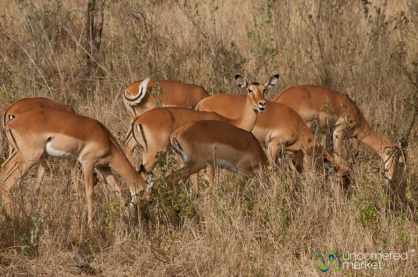 Antelopes in the Serengeti - Tanzania