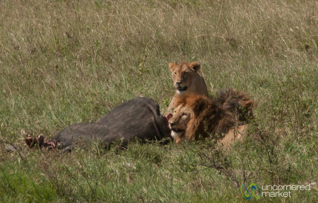 Lions Gather Around Dead Buffalo - Serengeti, Tanzania
