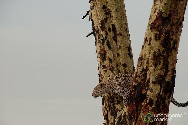 Leopard Looking Out from Tree - Serengeti, Tanzania