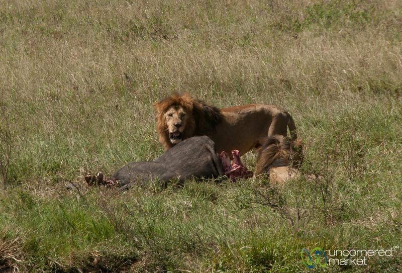 Male Lion with Buffalo Kill - Serengeti, Tanzania