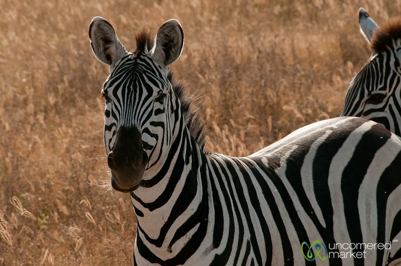 Zebra Look - Ngorongoro Crater, Tanzania