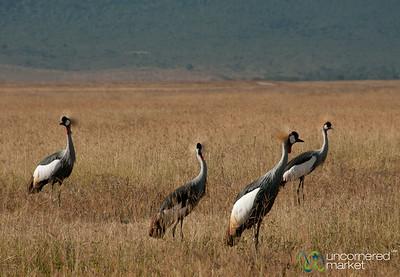 Crested Cranes - Ngorongoro Crater, Tanzania