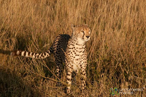 Cheetah on Alert - Serengeti, Tanzania