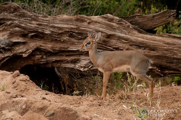 Dik-dik Antelope - Lake Manyara, Tanzania