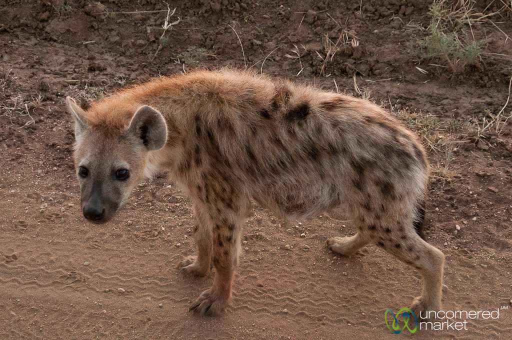 Hyena in the Early Morning - Serengeti, Tanzania