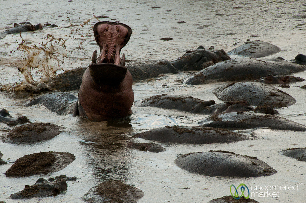 Active Hippopotamus - Serengeti, Tanzania