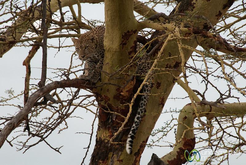 Leopard Walking in Tree - Serengeti, Tanzania