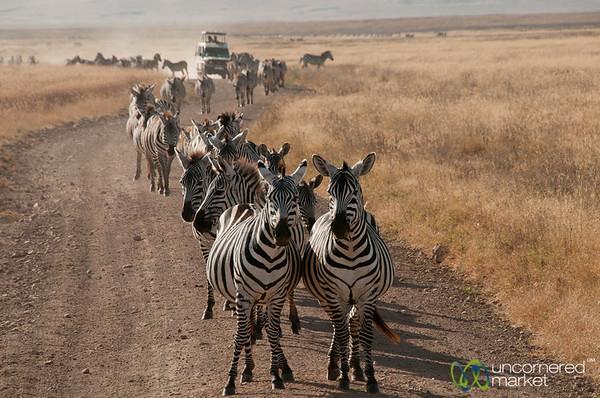 Zebras, Zebras Everywhere! Ngorongoro Crater, Tanzania