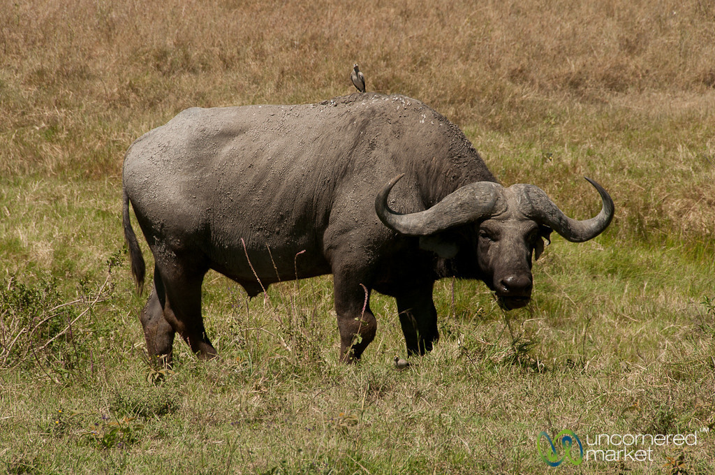 Buffalo in the Grass - Serengeti, Tanzania