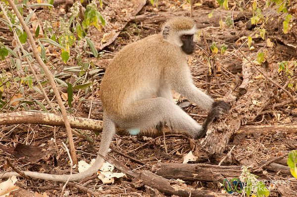 Vervet Monkey (aka, Blue Balled Monkey) - Lake Manyara, Tanzania
