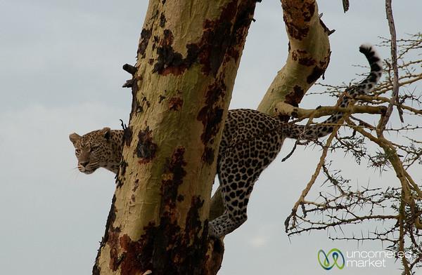 Leopard In Tree - Serengeti, Tanzania