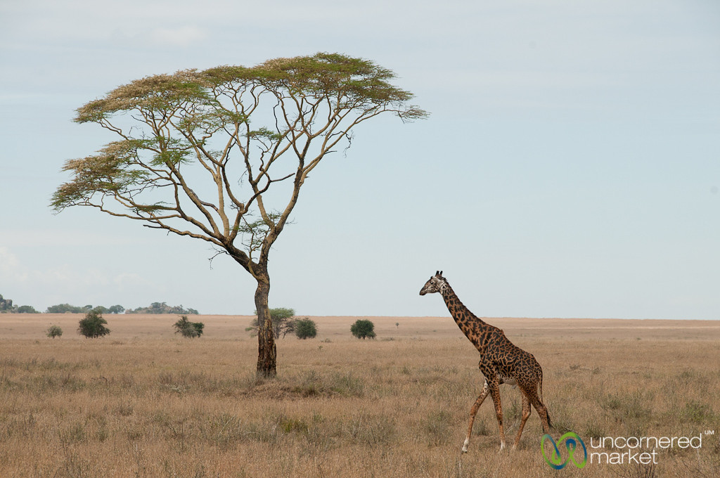 Giraffe and Acacia Tree - Serengeti, Tanzania