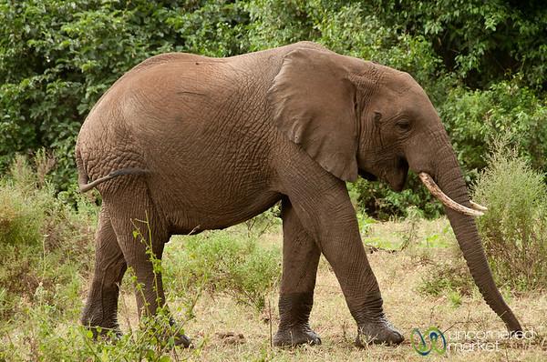 Elephant Profile Shot - Lake Manyara, Tanzania