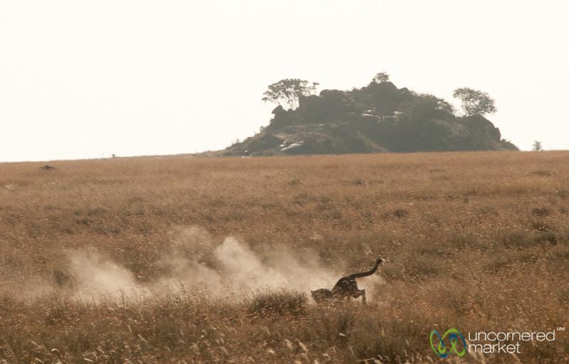 Cheetah Got the Gazelle! Serengeti, Tanzania