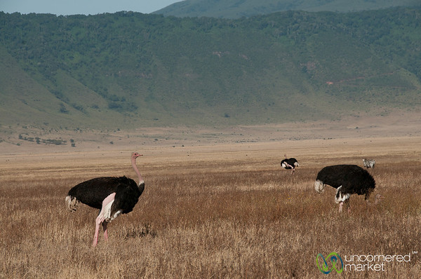 Ostrich in Ngorongoro Crater - Tanzania
