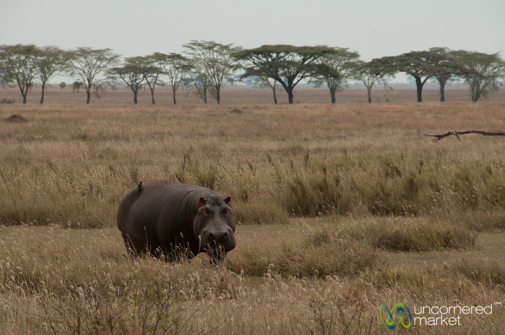 Hippopotamus in the Grass - Serengeti, Tanzania