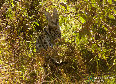 Serval in the Brush - Ngorongoro Crater, Tanzania