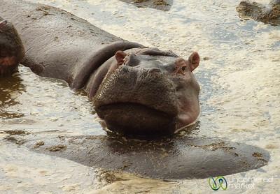 Hippopotamus Grin - Serengeti, Tanzania