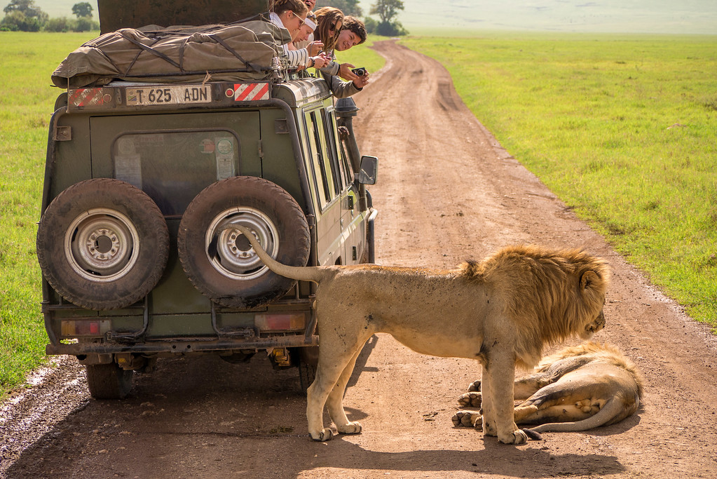 Lions near our vehicle