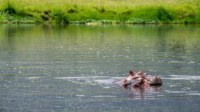 Happy Hippos at the Ngorongoro Crater