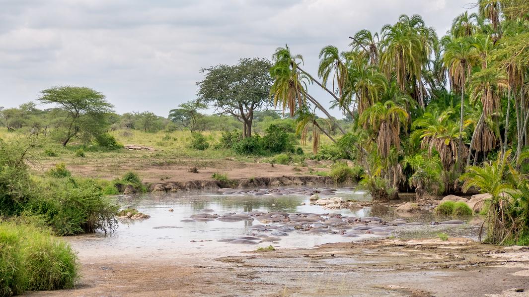 hippo swamp