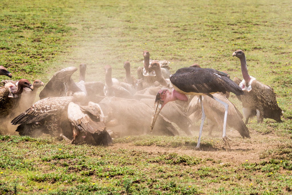 Vultures crowd around a kill
