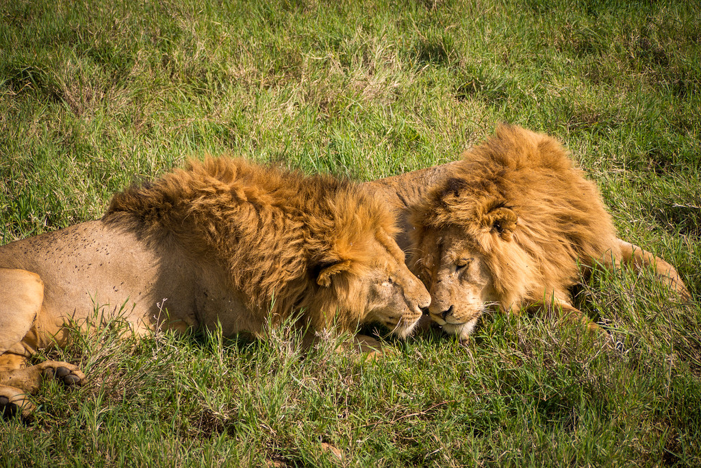 Friendly lions
