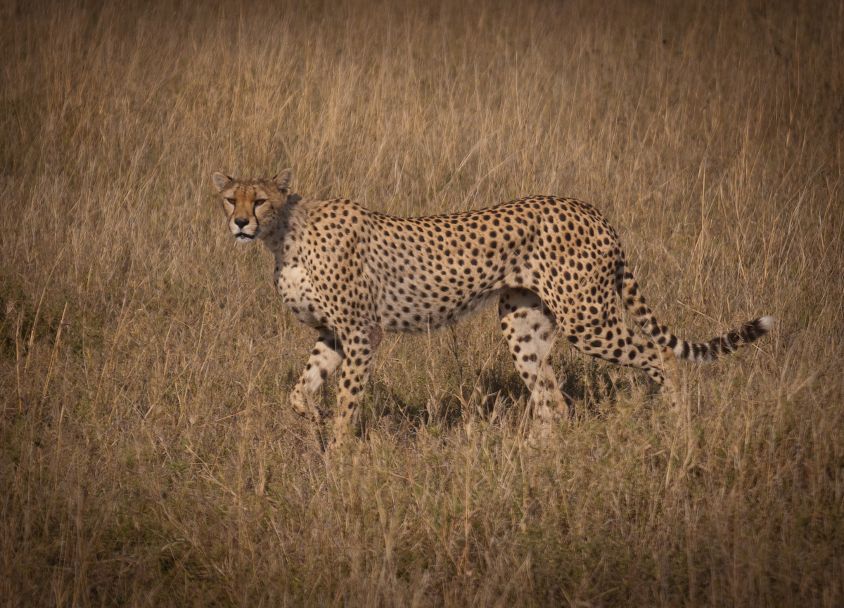 We spotted this leopard on the way out of the Serengeti.