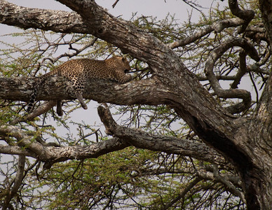 This leopard had a Thompson Gazelle stashed in tree.