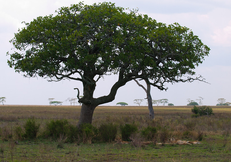 This tree had approximately 20 lions lounging underneath it.  It also had one lioness sleeping in the tree branches.