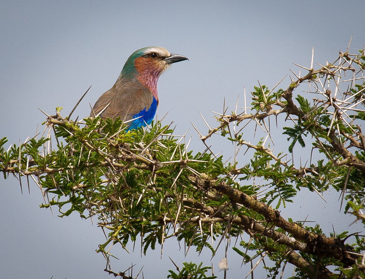 Lilac-breasted Roller in an Acacia tree.
