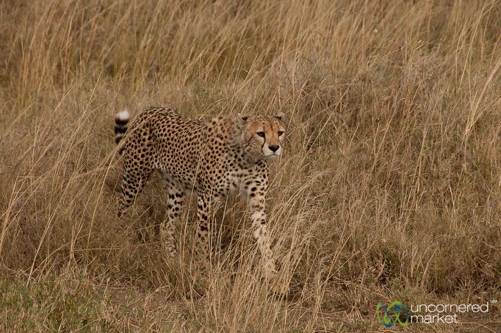Cheetah in the Grass - Serengeti, Tanzania