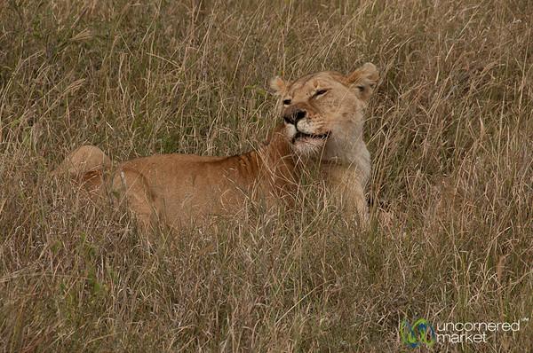 Lion in the Tall Grass - Serengeti, Tanzania