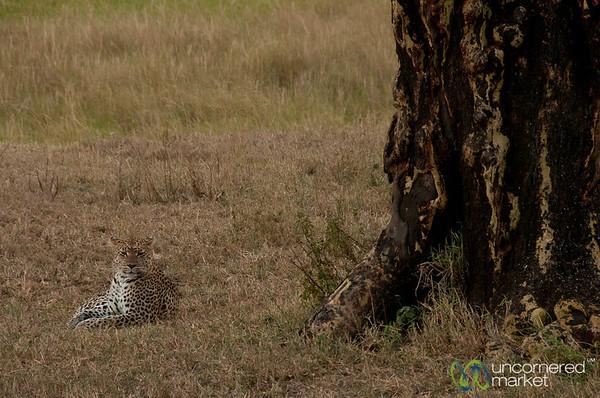 Leopard Resting by Tree - Serengeti, Tanzania