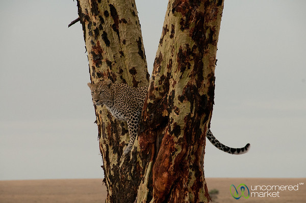 Leopard Lookout Spot in Tree - Serengeti, Tanzania