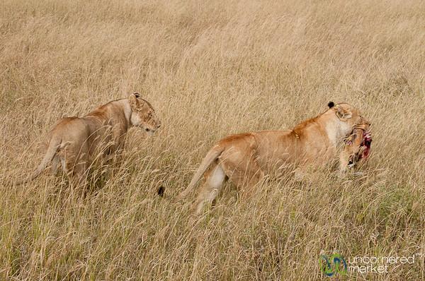 Lion Carrying Away Freshly Killed Antelope - Serengeti, Tanzania