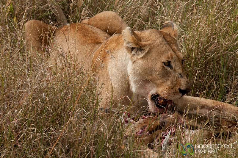 Lion Feasting on an Antelope - Serengeti, Tanzania