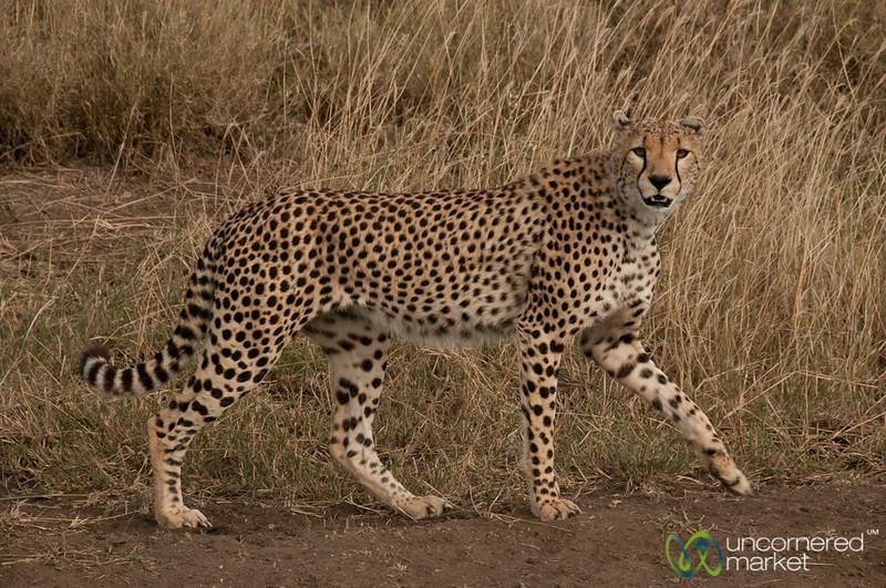 Cheetah Passing Us By - Serengeti, Tanzania