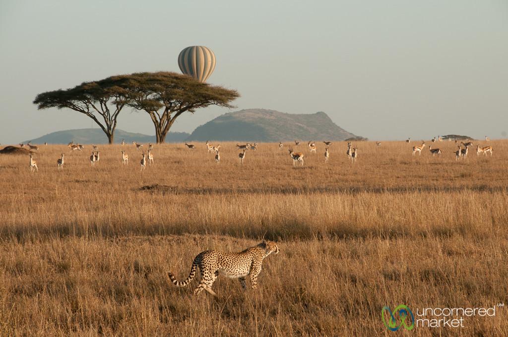 Cheetah on Hunt with Hot Air Balloon Behind - Serengeti, Tanzania