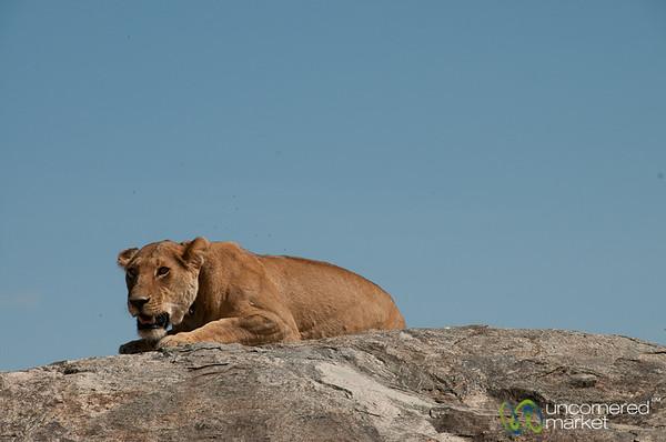 Female Lion on Rock - Serengeti, Tanzania